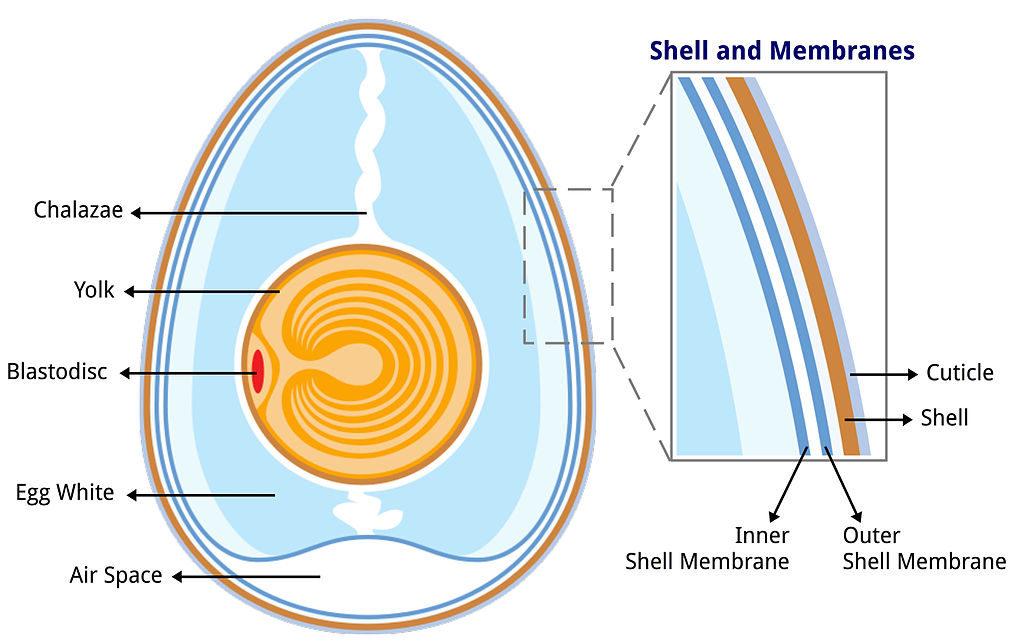 Folding Egg Experiment explained.